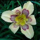 Ancient Impact Daylily