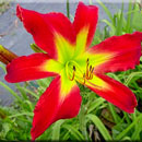 Atomic Inferno Daylily