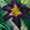 Blackberry Dragon Daylily