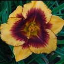 Chain Energy Daylily