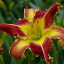 Cougar Daylily