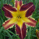 Dangerous Expectations Daylily