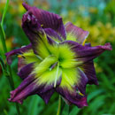 Double Magician Daylily