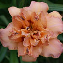 Double Whirlwind Daylily