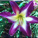 Heavenly Doppler Effect Daylily