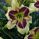 Heavenly Explosion Daylily
