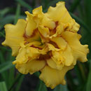 Heavenly Fission Daylily