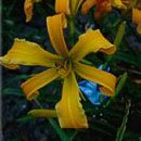 Heavenly Free Spirits Daylily