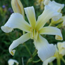 Heavenly Ghostrider Daylily
