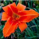 Heavenly Jet Fire Daylily
