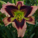 Heavenly Masquerade Daylily