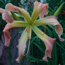 Heavenly Pink Twister Daylily