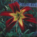 IMAGE Heavenly Starfire Daylily