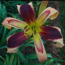 Heavenly Sudden Impact Daylily