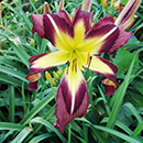 Heavenly Whirly Bird Daylily