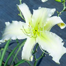 Heavenly White Lightening Daylily