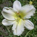 Heavenly White Swan Daylily