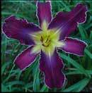 Increased Complexity Daylily