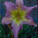 Lady of Faith Daylily