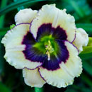 Lime Blueberry Cream Daylily