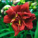 Master Disaster Daylily