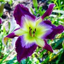 Moon Racer  Daylily
