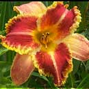 Order or Chaos Daylily