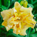 Popcorn at the Movies Daylily