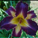 Purple Badger Daylily