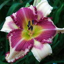 Raspberry Griffin Daylily