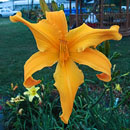 Reach for the Heavens Daylily