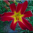 Red Fascination Daylily
