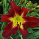 Red Tailed Hawk Daylily