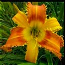 Saber Tooth Tiger Daylily