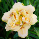 Scatter Your Senses Daylily