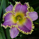 Sea Monster Daylily