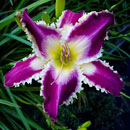 Spacecoast Jaws Daylily