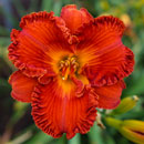 Spacecoast Solar Flare Daylily