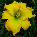 Spacecoast The Green Mile Daylily