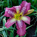 Spacecoast Time Warp Daylily