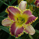 The Dentist Daylily