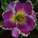 Thunder Dragon Daylily