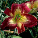 Time To Fly Daylily
