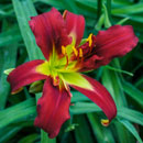 Two Headed Firedragon Daylily