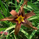 When Bears Fly  Daylily