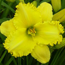 Yellow Ducky Daylily
