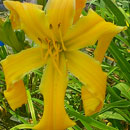 Yellow Typhoon Daylily
